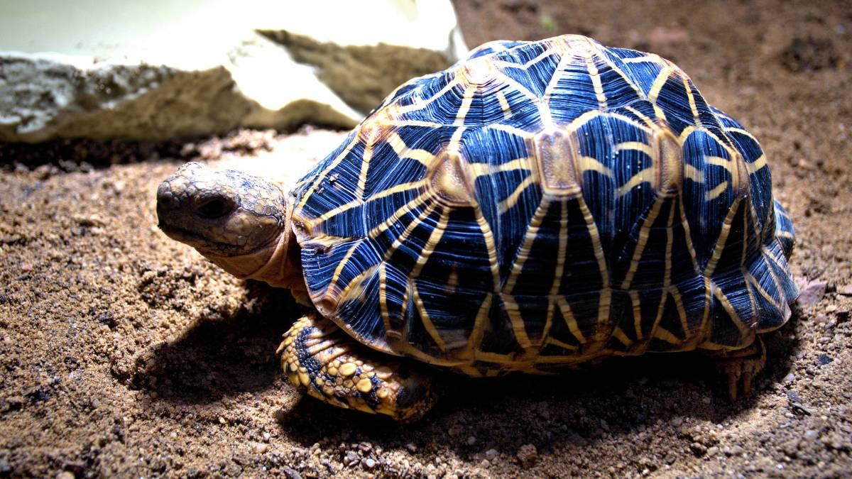 Características de la tortuga estrellada