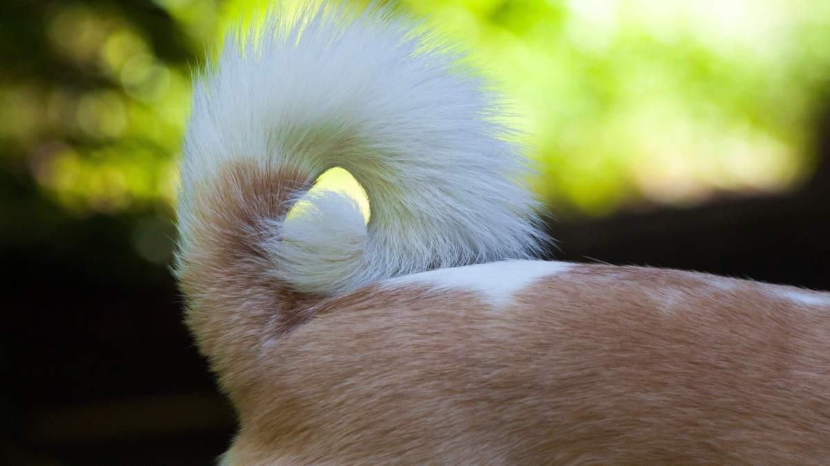 El síndrome de la cola fría en el perro