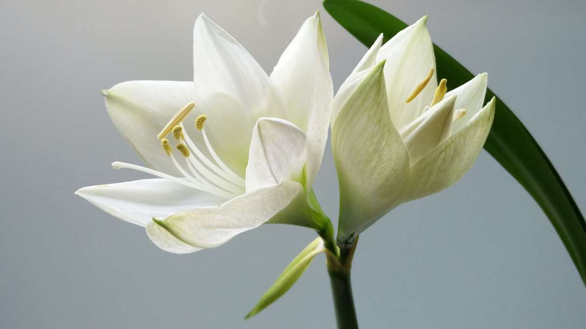 Los lirios son una de las flores  más bonitas que puedes cultivar en casa