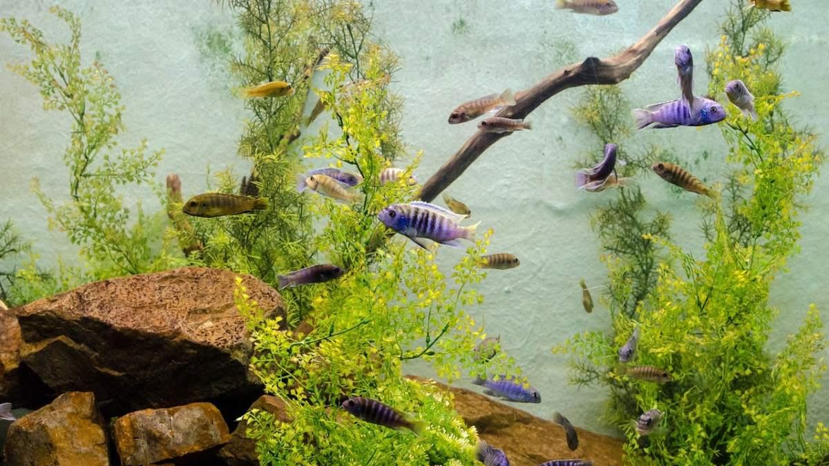 Cómo eliminar las algas del acuario acrílico