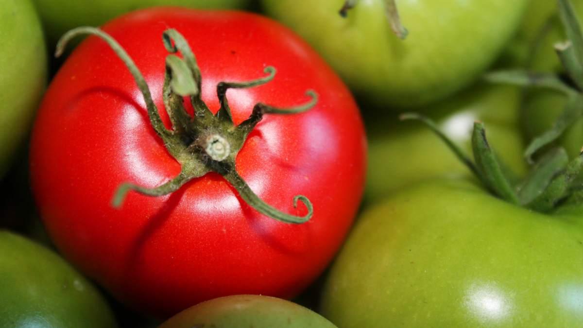 Acordeón de tomate