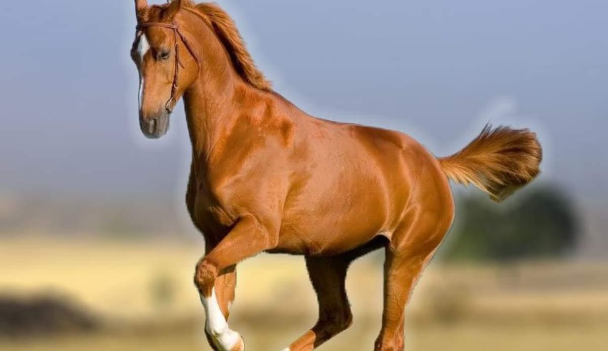 Cualidades del caballo maremmano