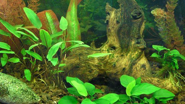 Plantas en acuario