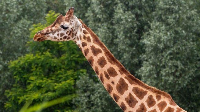 Datos curiosos jirafas