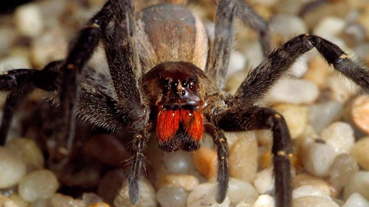 La araña errante brasileña, una de las arañas más venenosas del planeta