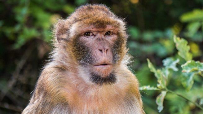 Datos curiosos macaco