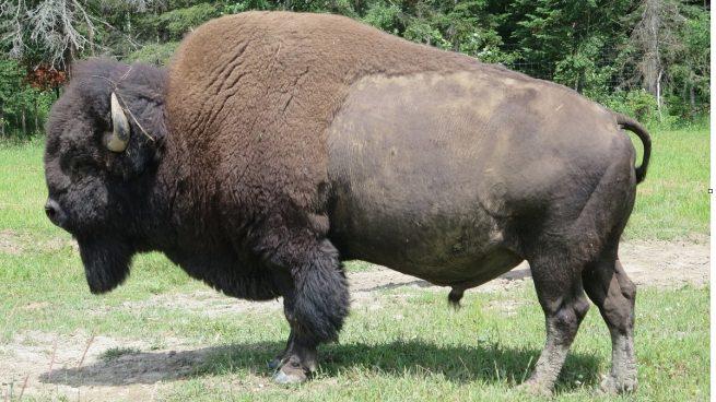 Datos curiosos del bisonte: alimentación, hábitat y diferencia con el búfalo