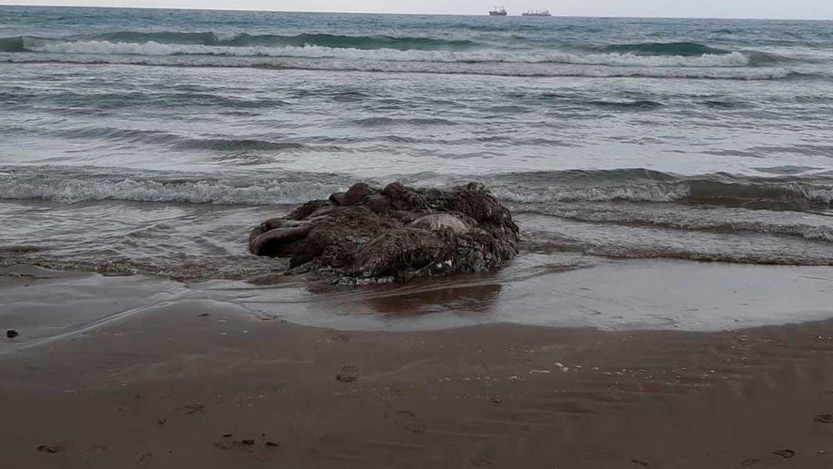 Calamar gigante aparecido en la playa del Gurugú de Castellón.