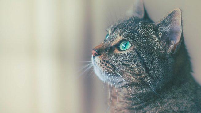 Signos envejecimiento gatos