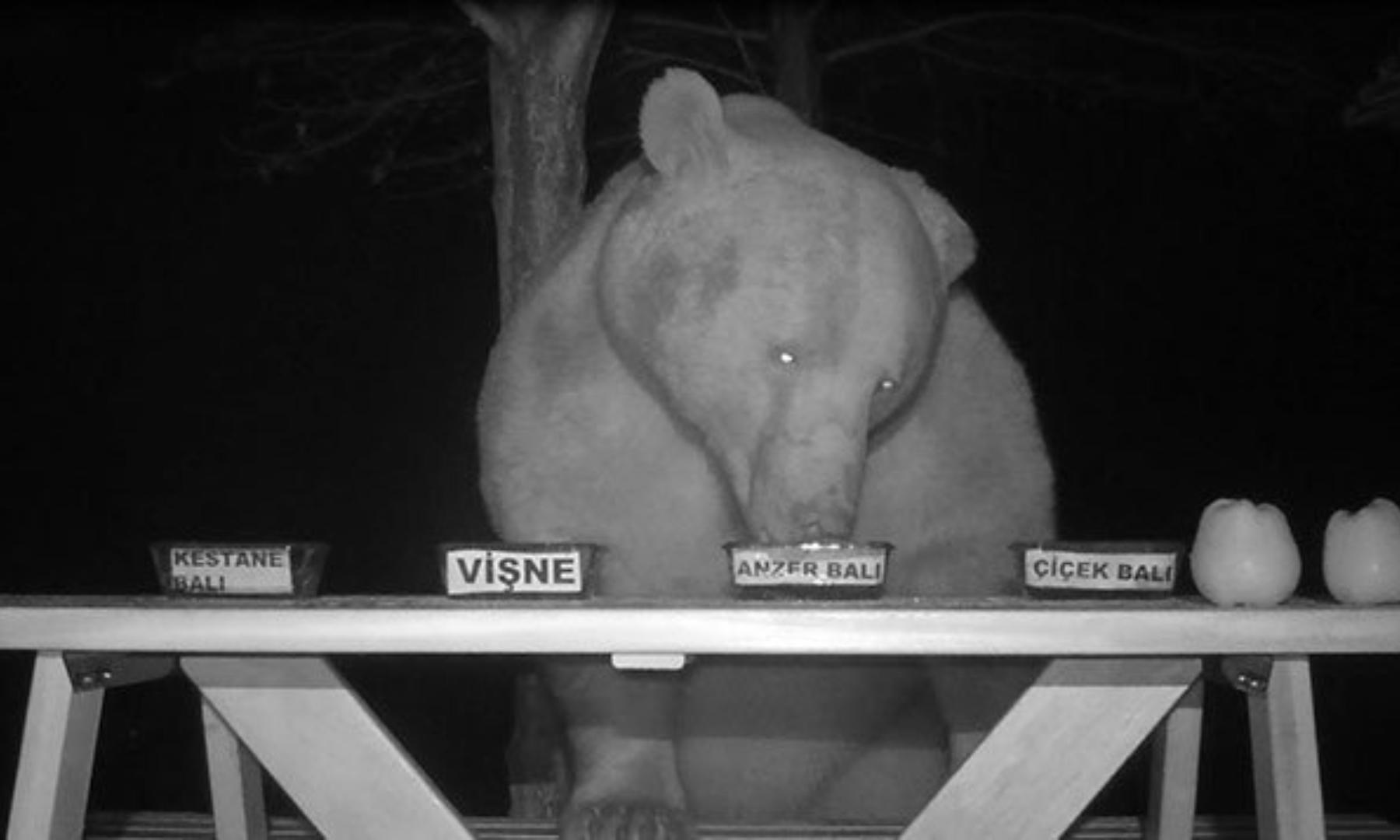 Unos osos roban miel a un apicultor