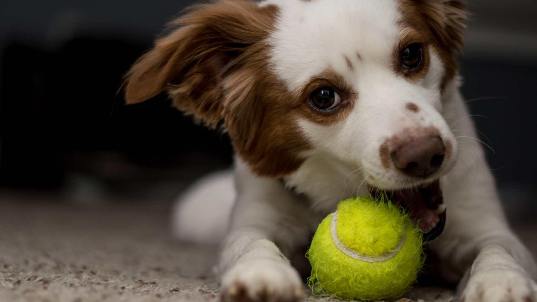 Síndrome de pica en perros