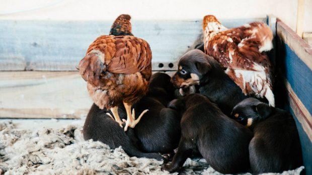 Perro y gallinas