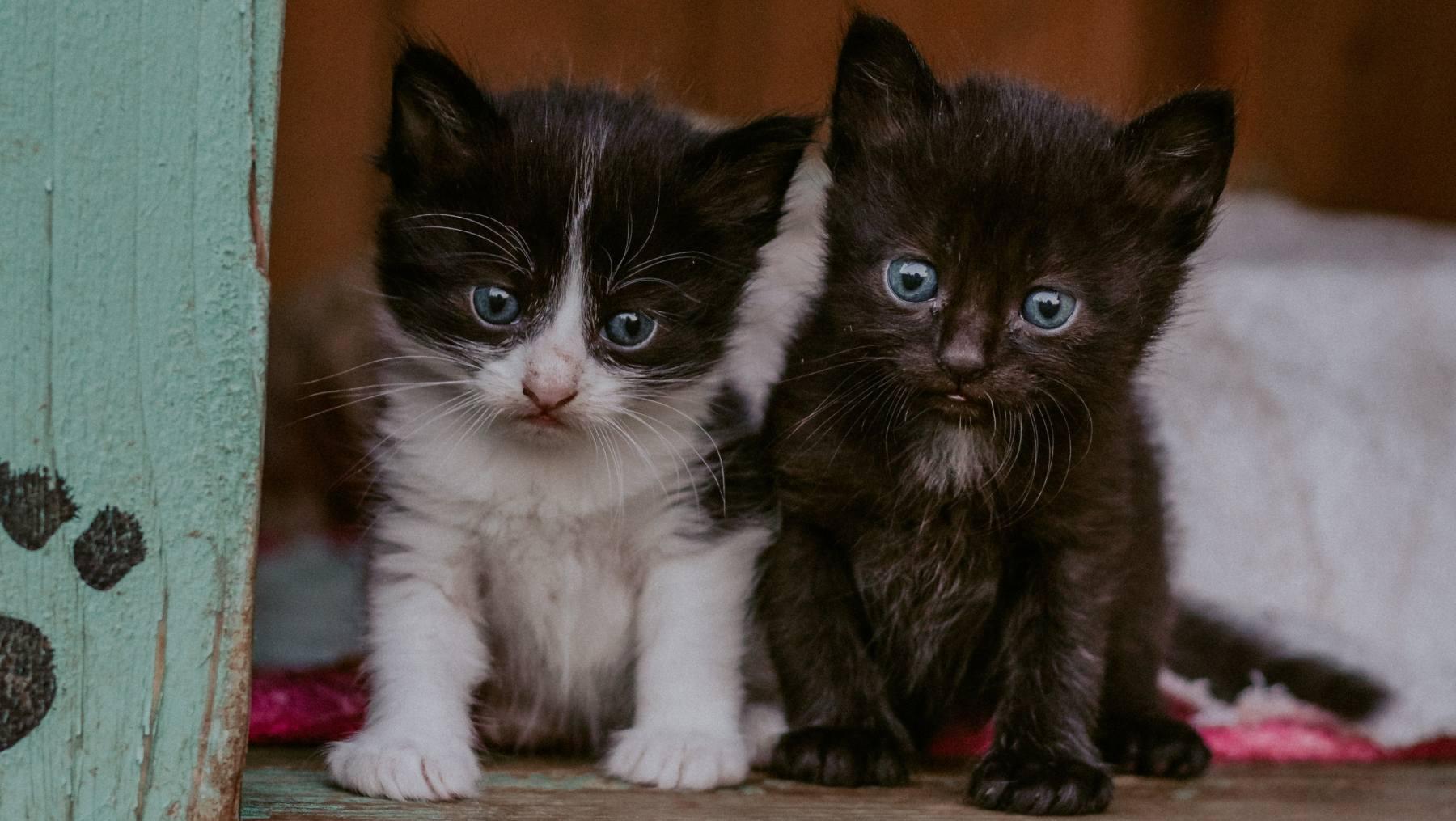 Tener varios gatos