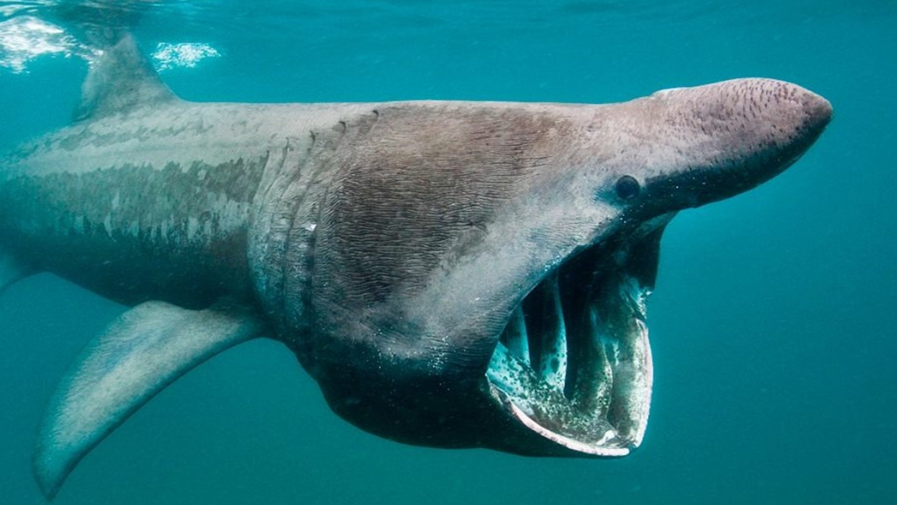 Tiburón Groenlandia