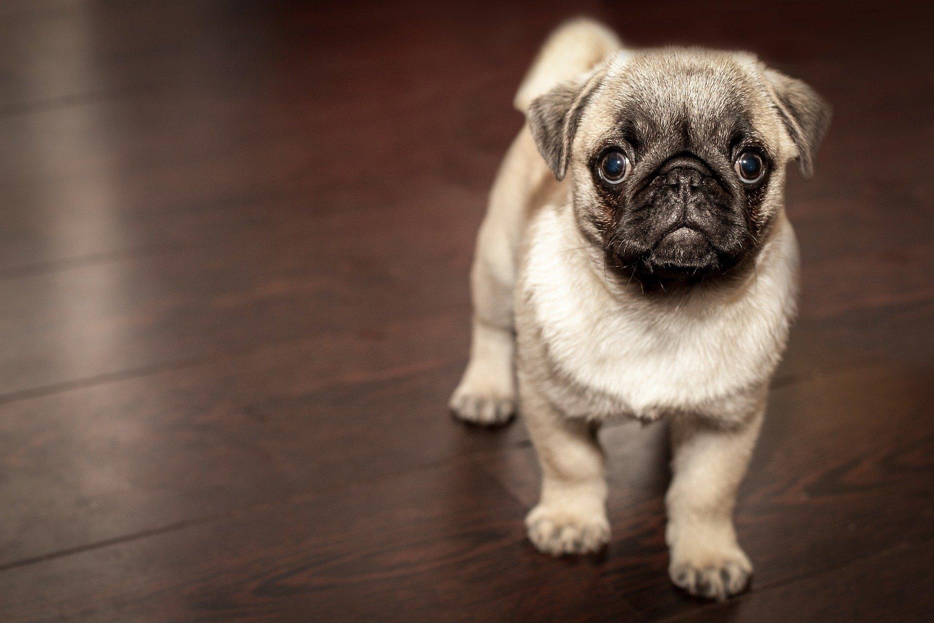 Un 30% de los perros en España tiene obesidad o sobrepeso