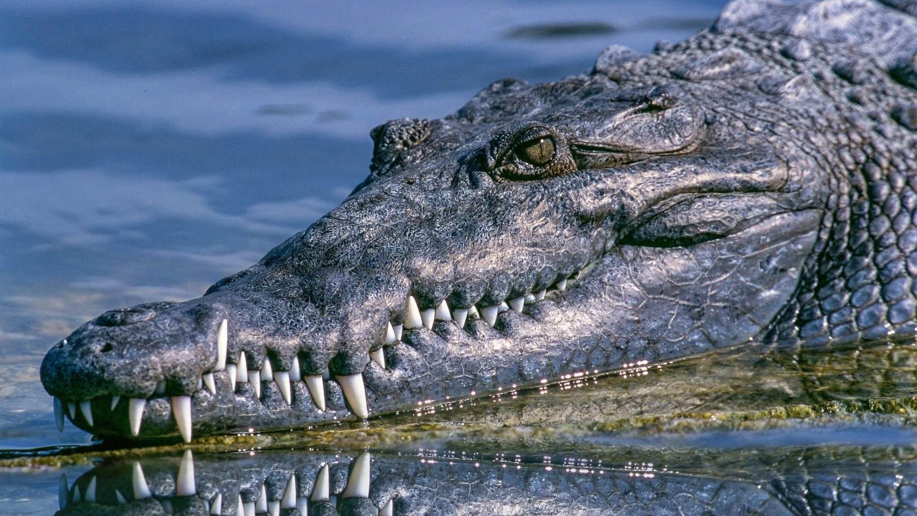 Tipos de cocodrilos