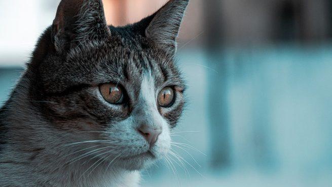 Cistitis en gatos