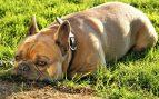 Cuidar las orejas del perro