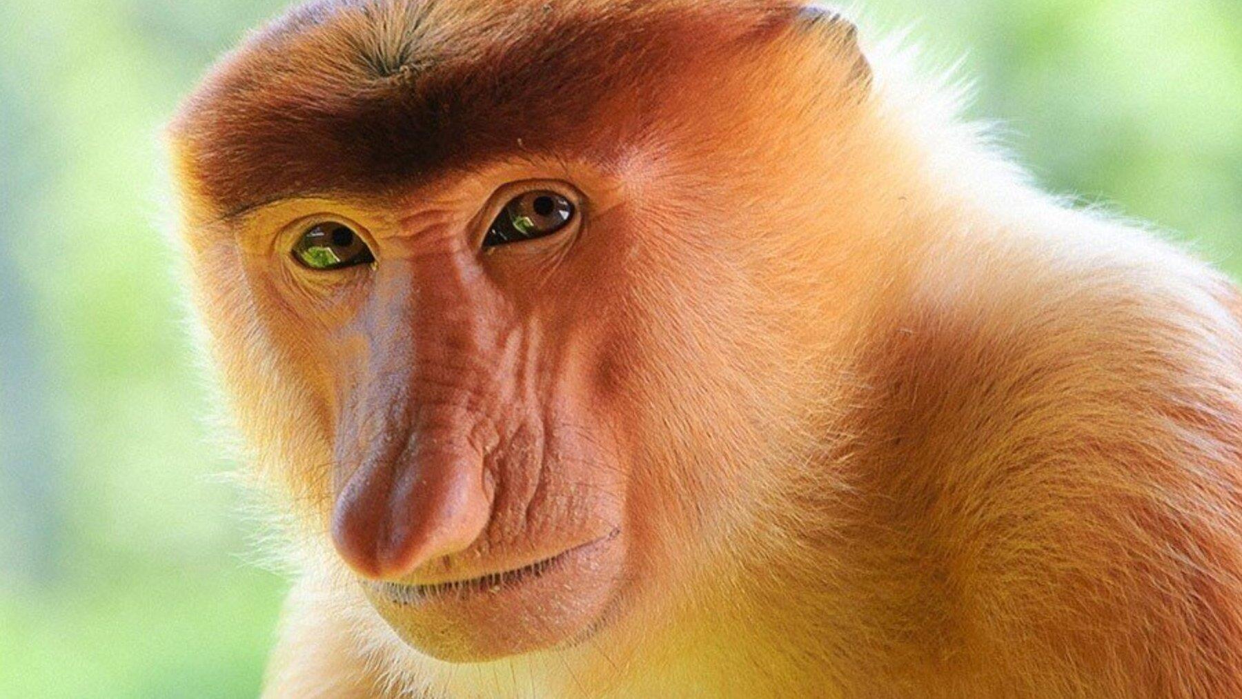 Mono de nariz larga