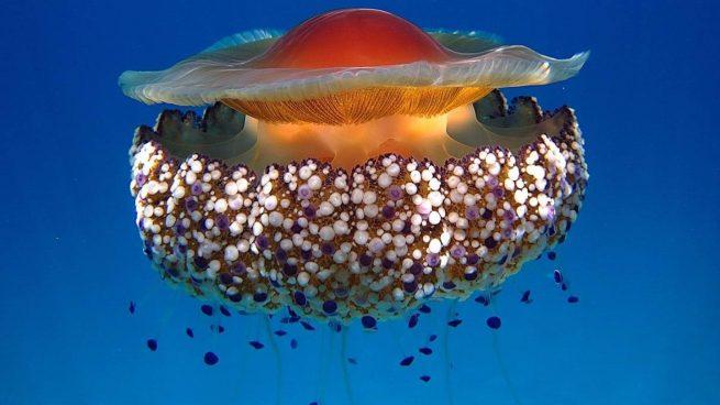La medusa simbionte.