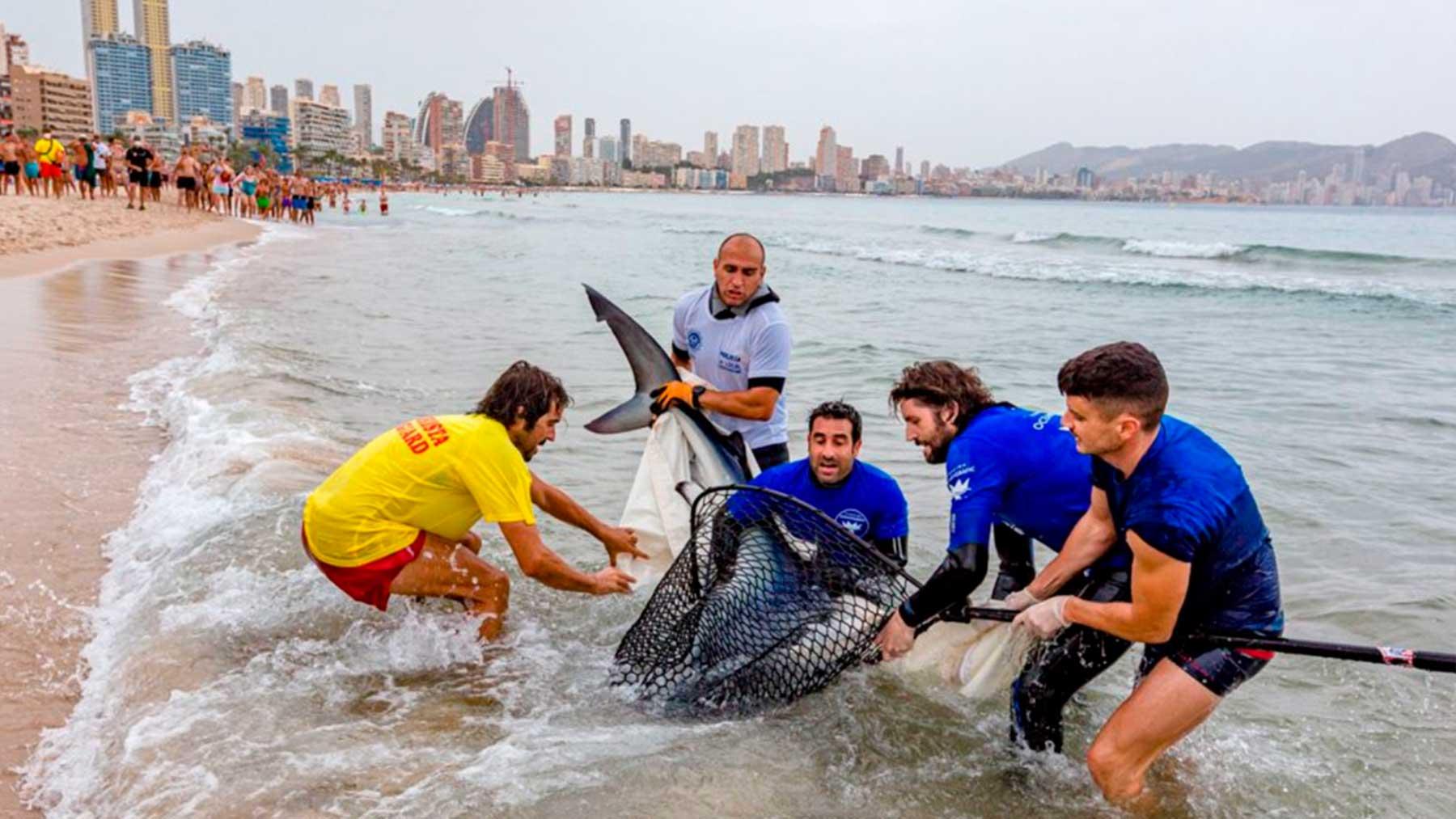 El enorme ejemplar de tiburón en la playa de Benidorm.