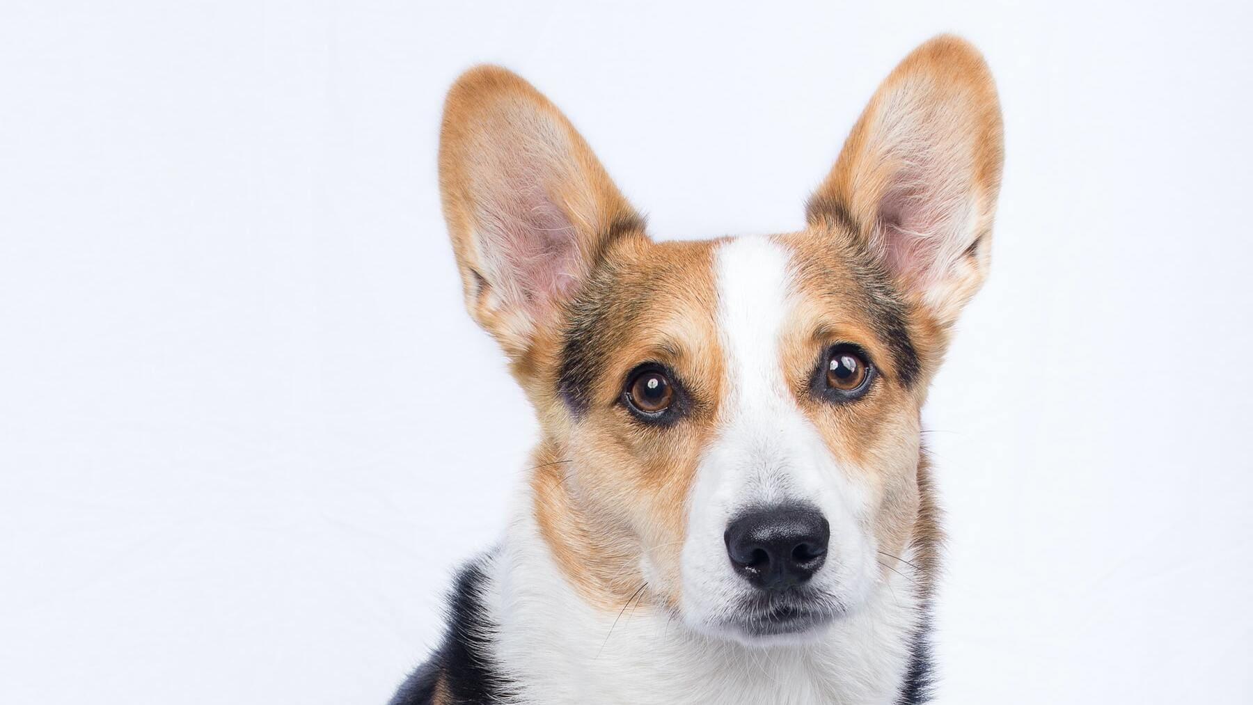 Por qué aúllan los perros