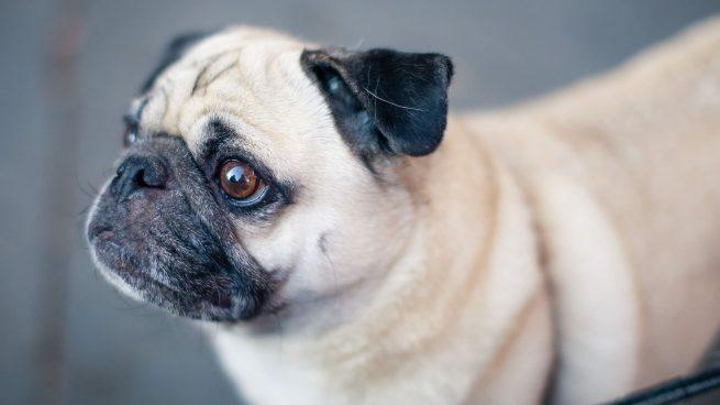 razas de perro menos ejercicio