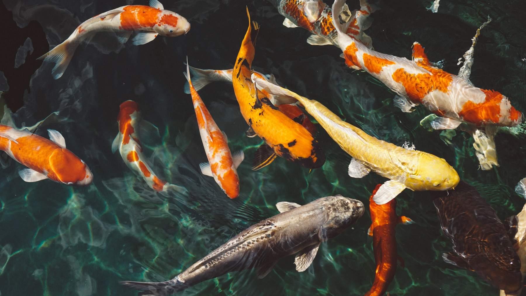 Ruido en la comunicación de los peces