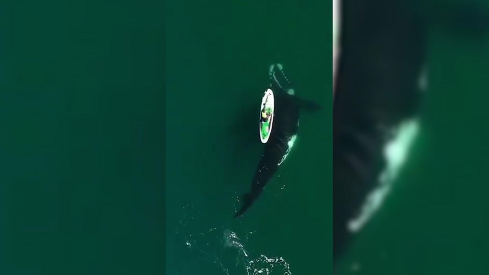 Una ballena argentina acompaña a una surfista.