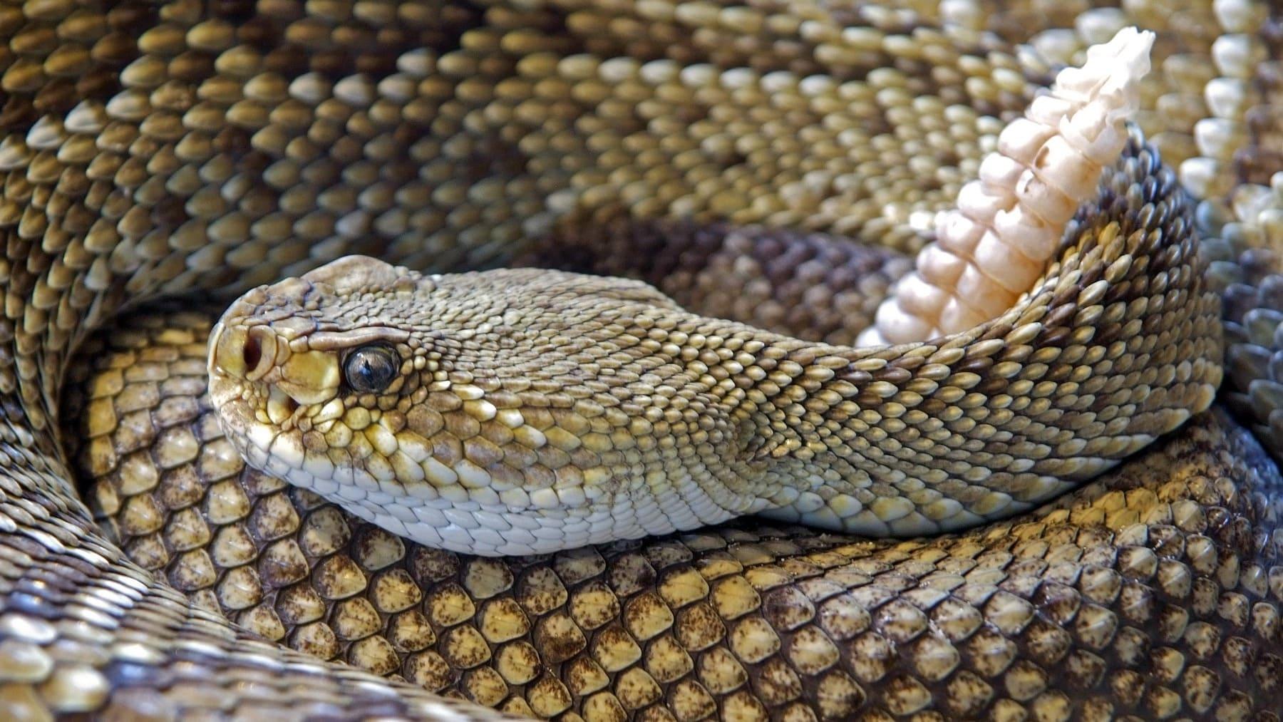 Serpiente de cascabelll