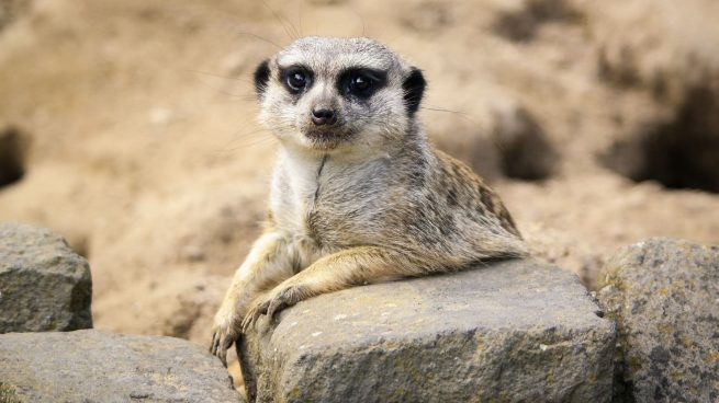 Datos curiosos del suricato