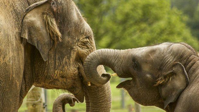 Reproducción elefantes