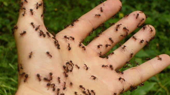 Los remedios para acabar con las hormigas en casa