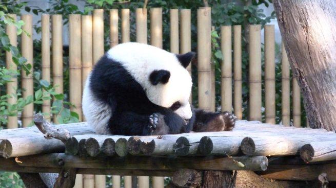 Curiosidades oso panda