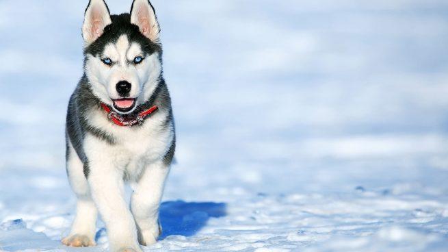 Razas perros más antiguas mundo