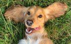 Perros comen hierba