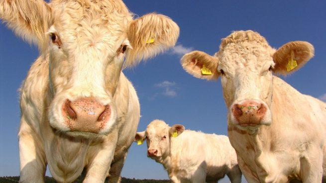 Vacas, útiles