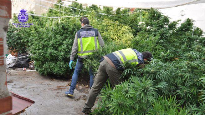 Fiscalía alerta de que la producción de marihuana se extiende de forma «imparable» por toda Andalucía