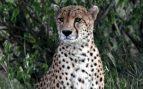 Características del guepardo