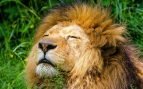 Frases de leones