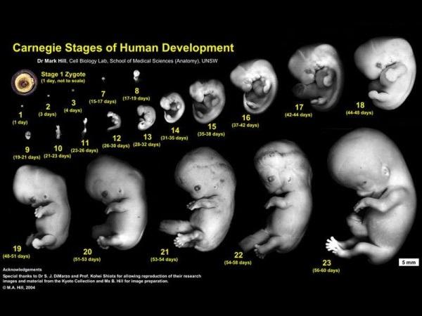 Tamano del feto 1 mes