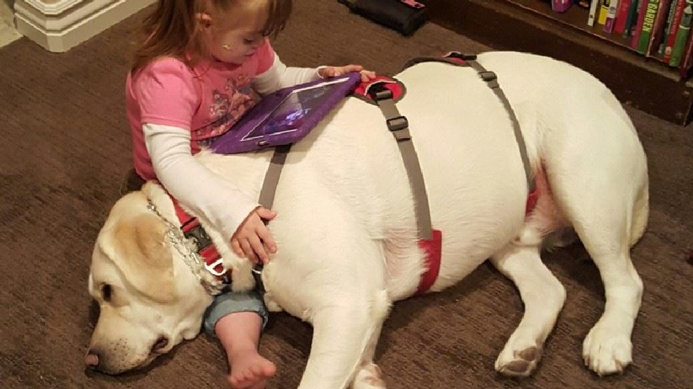 Un perro detecta la caída del azúcar a kilómetros de distancia