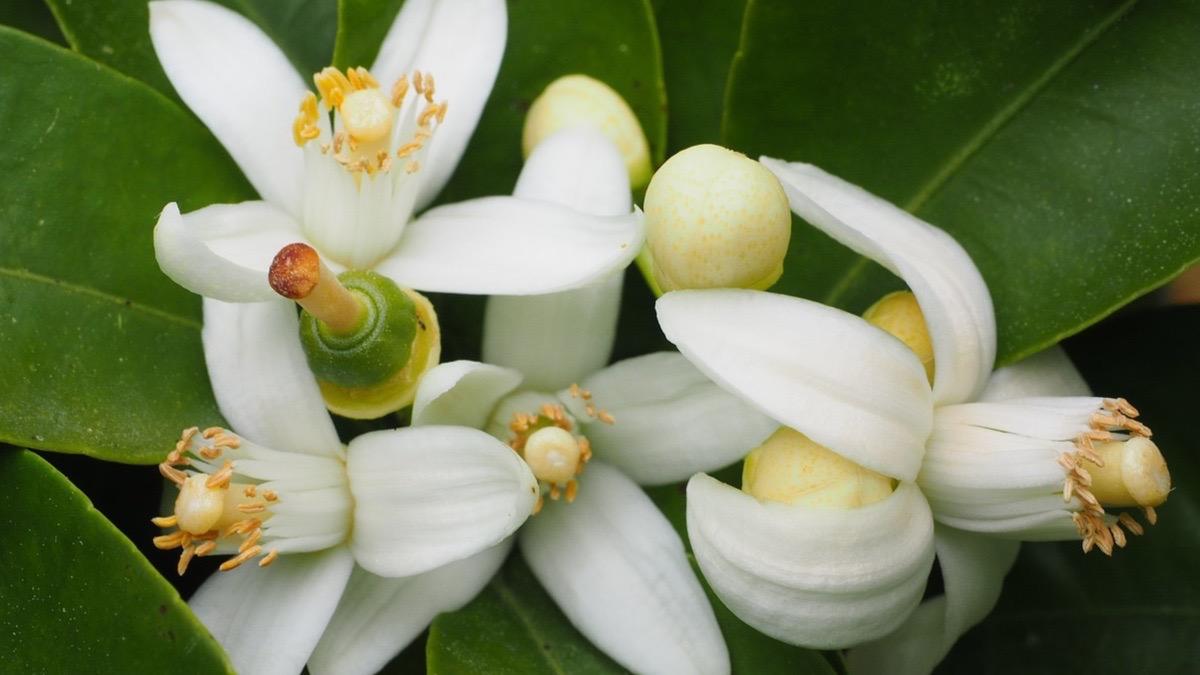Flor De Azahar Propiedades Para Combatir La Ansiedad