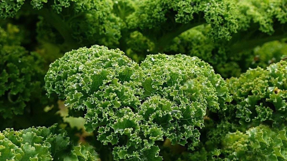 Kale beneficios y propiedades