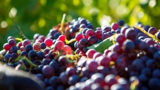 La Comunidad de Madrid tiene una gran riqueza vitivinícola / Gtres