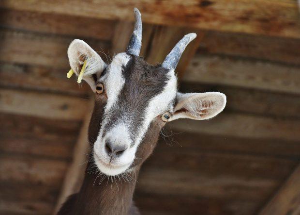 La leche de cabra, el secreto de Cleopatra para cuidar tu piel